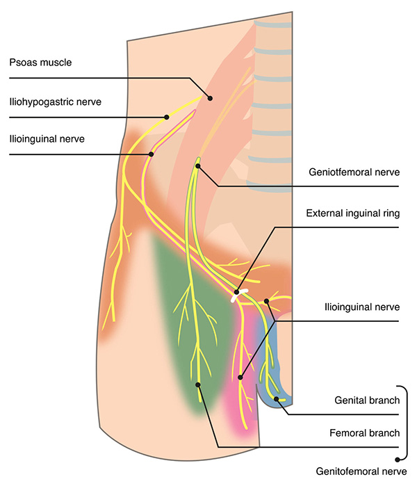 Groin Skin Anatomy Diagram - Custom Wiring Diagram •